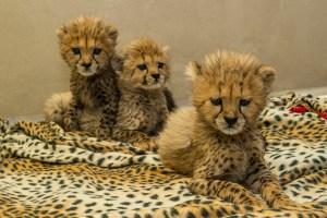 San Diego's Cutest Critters: A Trio of Cheetah Cubs at SDZSP