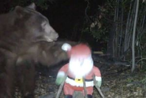 Stuffed Santa Clawed by Bear in California Forest
