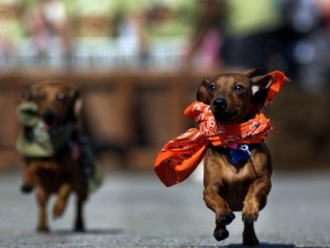 Oktoberfest-Adjacent Dachshund Races