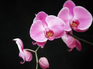 Santa Barbara's Orchid Extravaganza