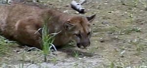 RAW VIDEO: Mountain Lion Safely Captured in Downtown Santa Cruz