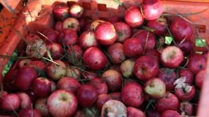 Apple Time: Oak Glen Is Cider-Sweet