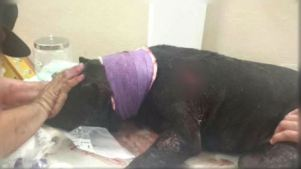 Dog Recovering After Being Stabbed Multiple Times