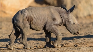 Adorable Zoo Babies: Justin the Rhino