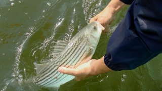 Fisherman Gets Prison for 200,000 Pounds of Illegally Caught Striped Bass