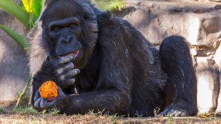 Party for Oldest-Known Gorilla