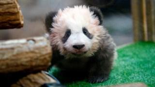 Adorable Zoo Babies: Baby Panda