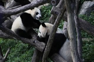 Adorable Zoo Babies: Panda Bei Bei Turns 1