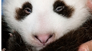 Zoo Panda Gets a Name