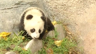 Baby Panda Explores New Home