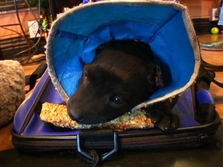 Earless Puppy Heals in Foster Care: Raw Video