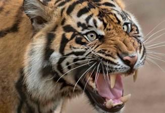 Opening: Tiger Trail at Safari Park