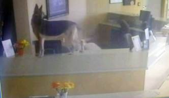Watch: German Shepherd Opens Doors in Shelter Escape