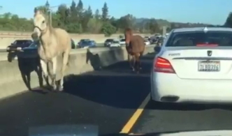 Galloping Horses Stop Traffic on Bay Area Freeway