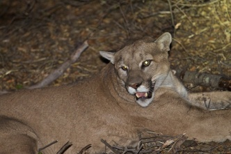 Permission to Kill Mountain Lion Granted