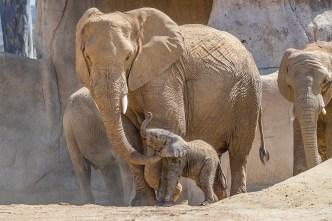 Safari Park Welcomes Baby Elephant on World Elephant Day