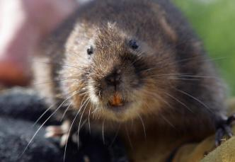 UC Davis Researchers Try to Save Mojave Rodent