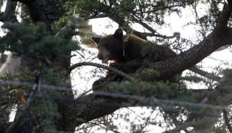 Bear Climbs Tree After School Campus Visit