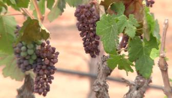 Ramona Wineries Suffer Devastating Losses in Blistering Heat