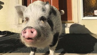 100-Pound Pet Pig Snatched From San Jose Family's Home