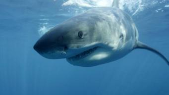 OC Fisherman Reels in Great White Shark
