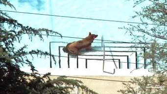 Calif. Bear Takes a Dip in Backyard Pools, Climbs Tree