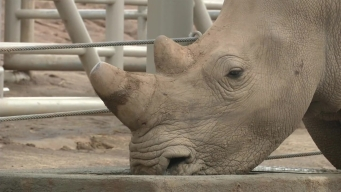 Rhinos are Heading Toward Extinction: Conservation Leader