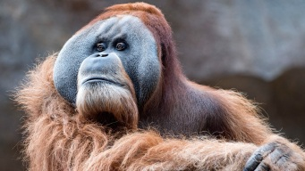 Swipe Right: Dutch Orangutans Try Computer Dating