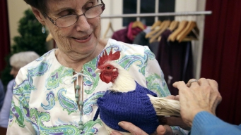 Hens' Best Friends: Retirees Knit Sweaters for Chilly Chickens