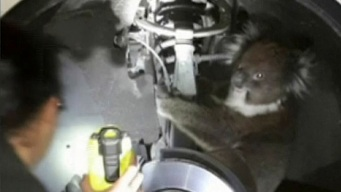 Koala Hitches 10-Mile Ride in Wheel Arch