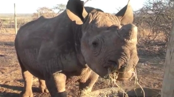 Humans Care for Orphaned Rhinos in Africa Game Reserve