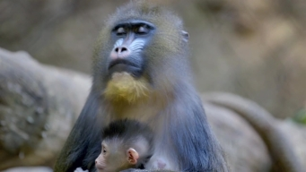 Mandrill Born at San Diego Zoo First in 14 Years