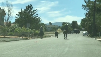 Runaway Bull in Ramona Caught on Camera