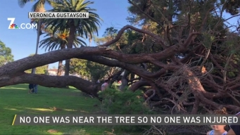 Massive Tree Falls in Coronado Park