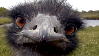 Wayward Emu Leads Morgan Hill Police on Foot Pursuit