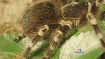 Why You Should Thank Tarantulas