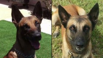 SDPD K-9 Among 2 Chosen for AKC Paw of Courage Award