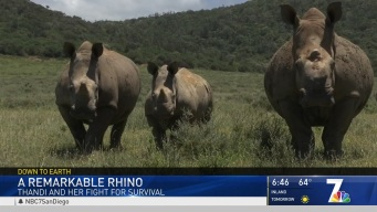 A Remarkable Rhino Fights for Survival