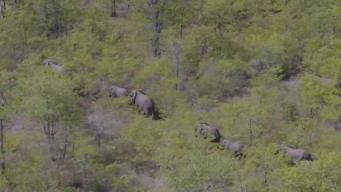 Elephants Thriving After Relocation to Mozambique