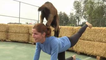 Finding Zen Through Goat Yoga