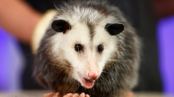 Opossum Breaks Into Florida Liquor Store and Gets Drunk