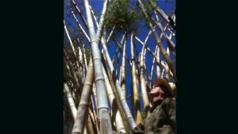Botanic Garden Bids Farewell to Iconic Bamboo