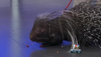 Pokey the Porcupine Stops by NBC 7