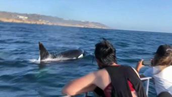 More Orcas Spotted Off San Diego's Coast