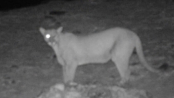 An Intimate Look at Mountain Lions in San Diego