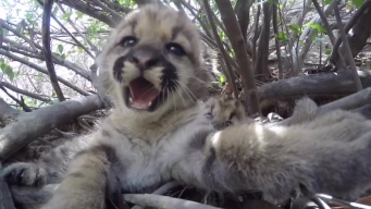 Researchers Find 3 Mountain Lion Kittens in Sonoma County