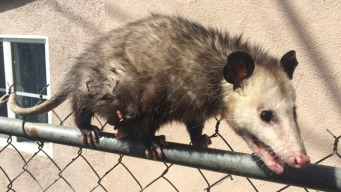 Opossum With 7 Babies Stuck on Chain Link Fence Rescued