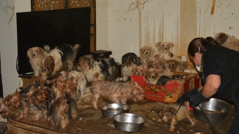 Yorkie-Hoarding Couple Will Face Felony Animal Abuse Charges