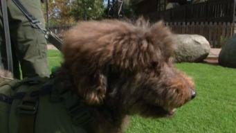 Poway Says Goodbye to Beloved Ranger Labradoodle 'Murphy'