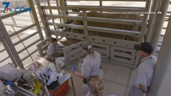 San Diego Zoo Attempts Artificial Insemination on Rhino